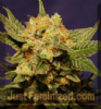Kannabia Big Band Female 5 Marijuana Seeds